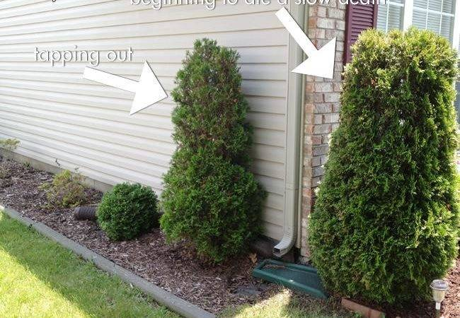 Little Giant Arborvitae Landscaping Weddbook