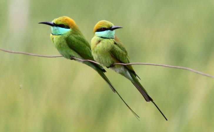 Little Green Bee Eater Steppe Buzzard Birds Words