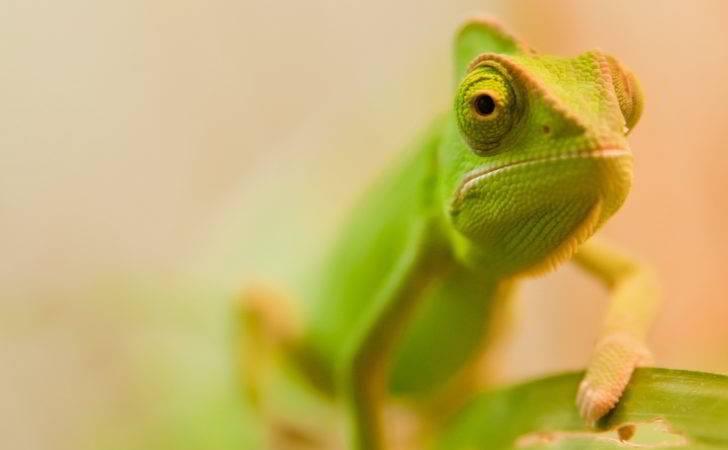 Little Green Chameleon
