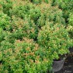 Little Heath Green Pieris Japonica