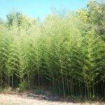 Live Bamboo Plants Tall Instant Privacy Windbreaker Zen Garden