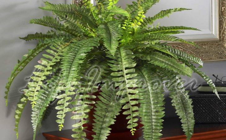 Live Boston Fern Large House Plant Pot Indoor Graden Nephrolepis