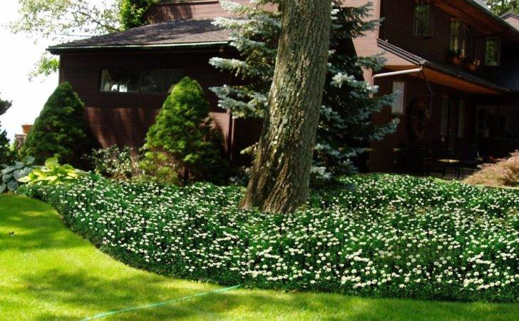 Live Mulch Plant Carpet Ride Flowering Ground Cover