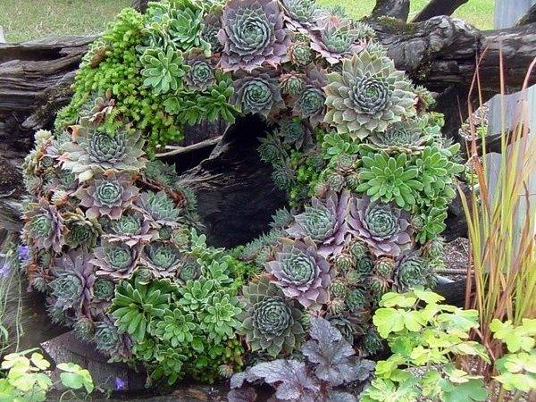 Living Succulent Wreath Cute Gardening Ideas Pinterest
