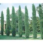 Mature Tree Shop Your Local Lowe Trees Specific