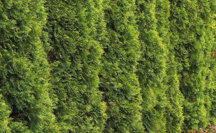 Medium Sized Privacy Trees Block Nosey Neighbors Fast Growing