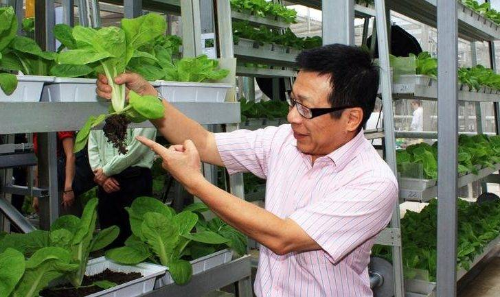 Member Singapore Parliament Inspects Chinese Cabbage Growing