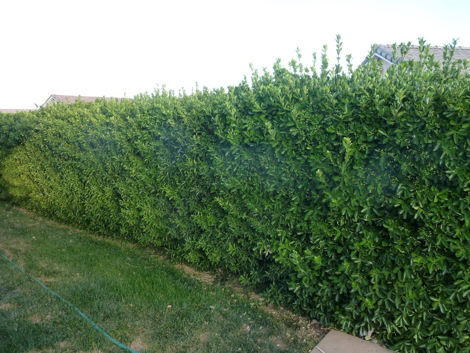 More Like Fast Growing Evergreen Shrubs Privacy Jpeg