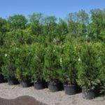 Narrow Evergreen Trees Privacy Hetz Columnar Junipers Highland