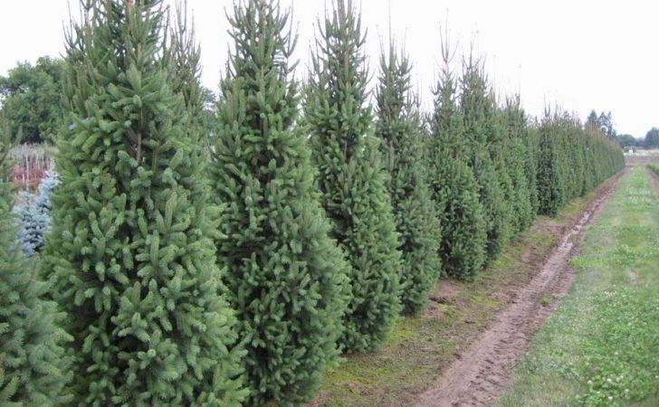 Narrow Evergreen Trees Spruce Norway Cupressina Columnar