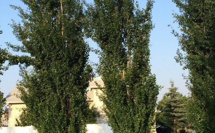 Narrow Growing Trees Fast Hardy Tree Variety