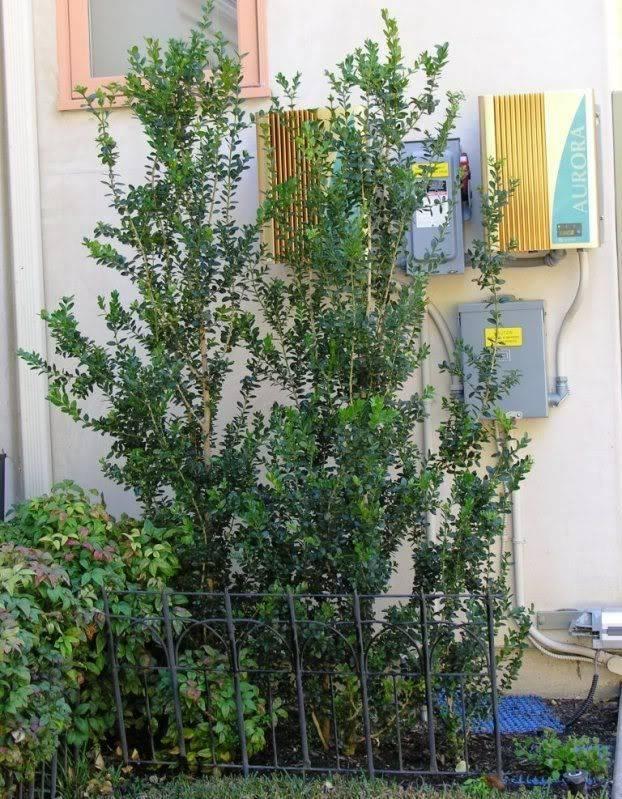Narrow Screening Plants Southern California Part Screens