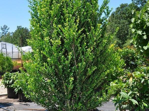 Narrow Short Evergreen Trees Lichtenfelt Nurseries