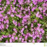 Natural Herbal Small Pink Flowers Green Lawn