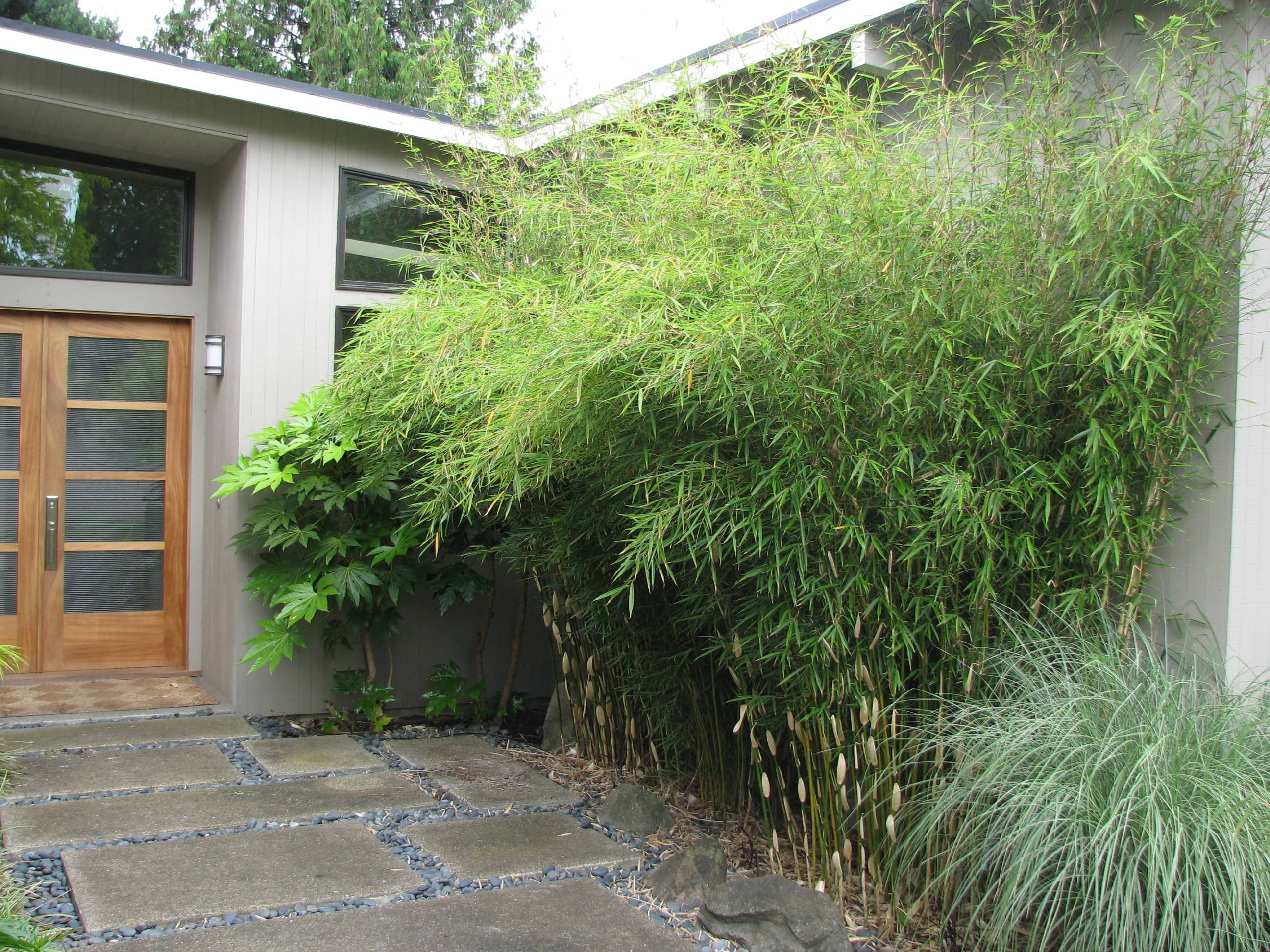 Non Invasive Cold Hardy Clumping Bamboos Genus Fargesia