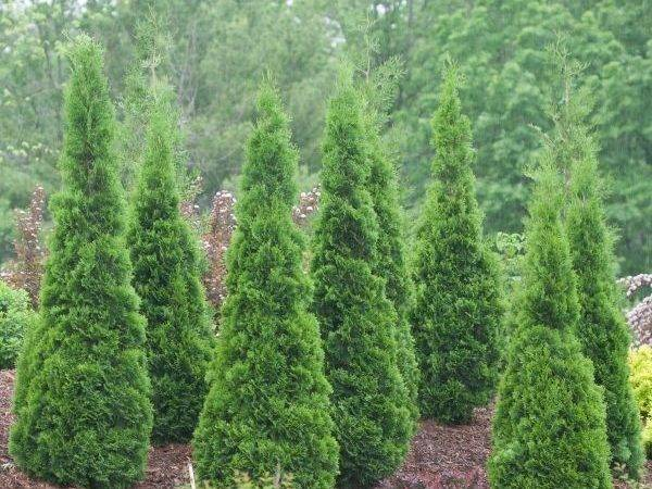 North Pole Arborvitae Nature Hills Nursery