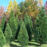 Penland Tree Farm Archive Carolina Sapphire Cypress