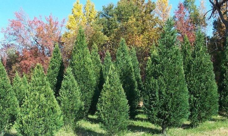 Penland Tree Farm Archive Carolina Sapphire Cypress