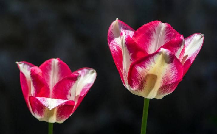 Photograph Tulips Kind Photographic Arts Design Studio