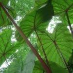 Pin Big Leaf House Plants Pinterest