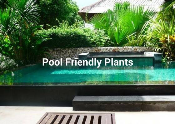 Plant Around Swimming Pool Albatross