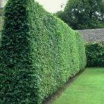 Plant Backyard Escape Pinterest Hedges Shrubs Fast Growing