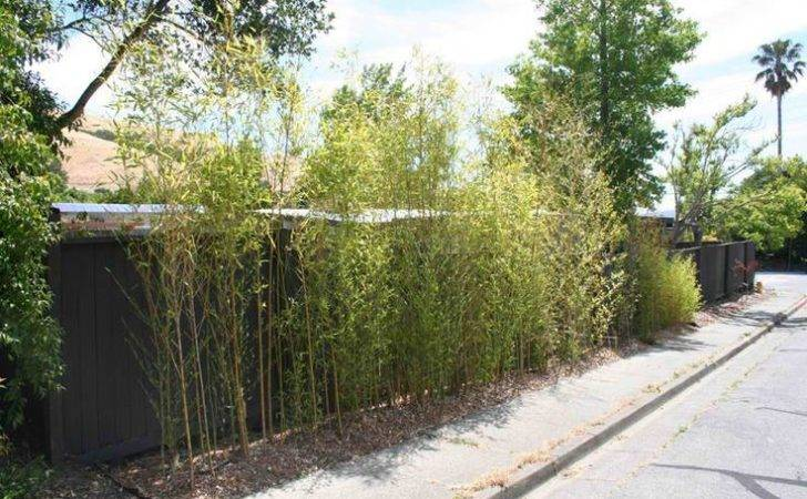 Plant Bamboo Privacy Hedge Back Yard Pinterest