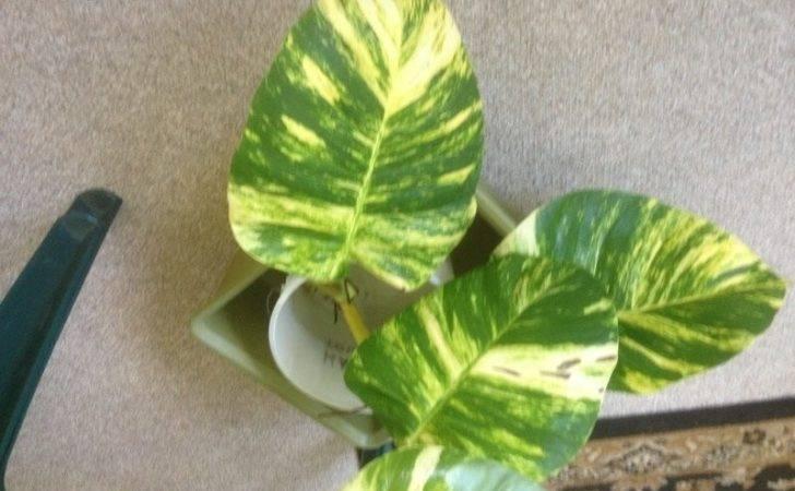 Plant Identification Closed Large Variegated Leaf