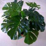 Plant Large Houseplants Leaf Indoor Tropical Plants