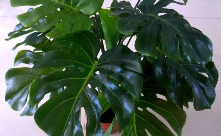 Plant Large Houseplants Leaf Indoor Tropical Plants
