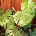Plant Propagation Water Well Tropical Plants Large Leaves