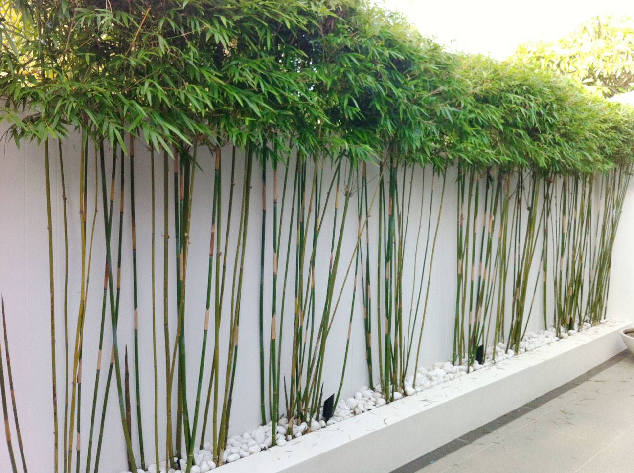 Planting Privacy Bamboo