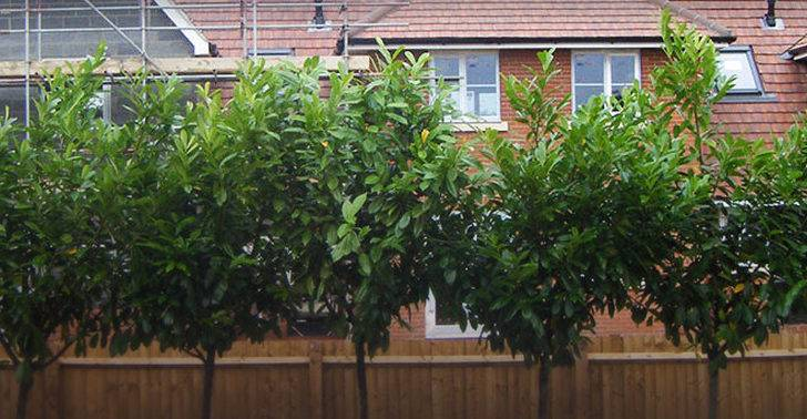 Plants Leylandii Hedging Evergreen Trees Conifers Our Tree