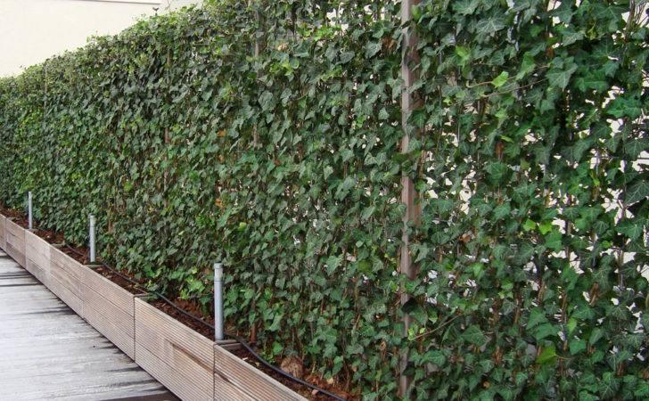 Plants Privacy Fence Plant Living Fences