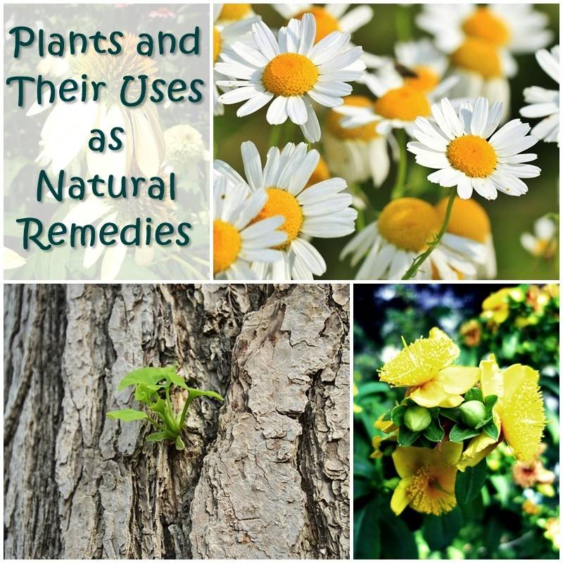 Plants Their Uses Natural Remedies There Many Different