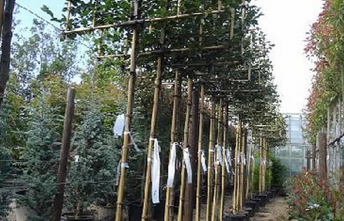 Pleached Trees Screening Paramount Plants