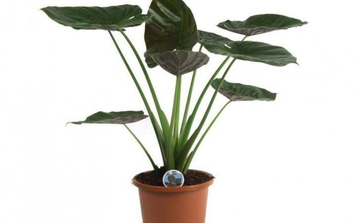 Pot Elephant Ears Palms Exotic Plants House