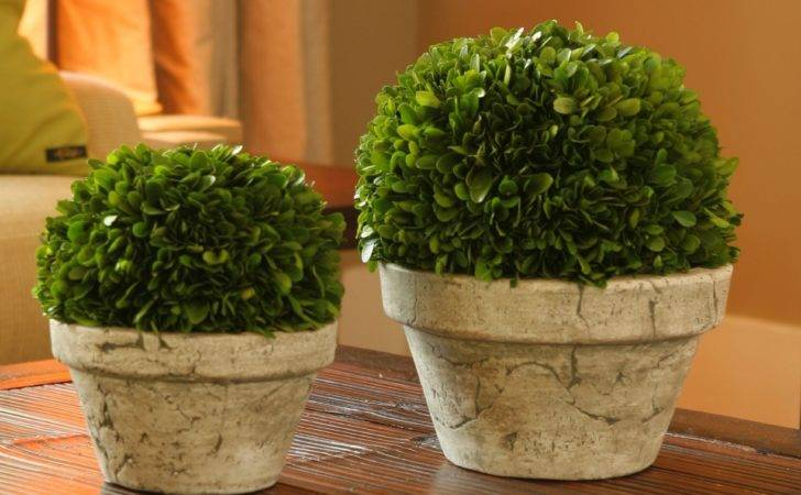 Preserved Boxwood Ball Gray Pot Topiaries Hayneedle