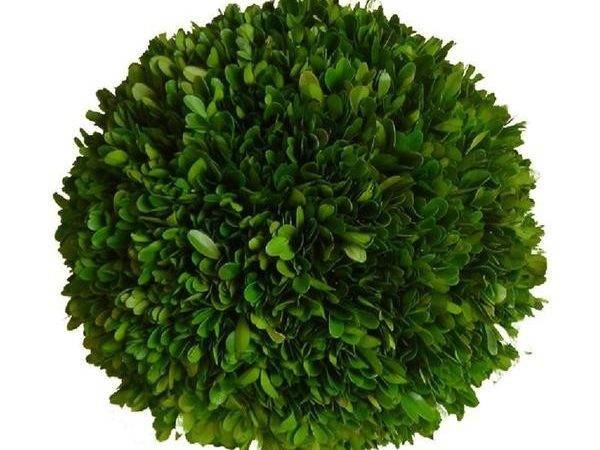 Preserved Boxwood Ball Inch Bella Marie