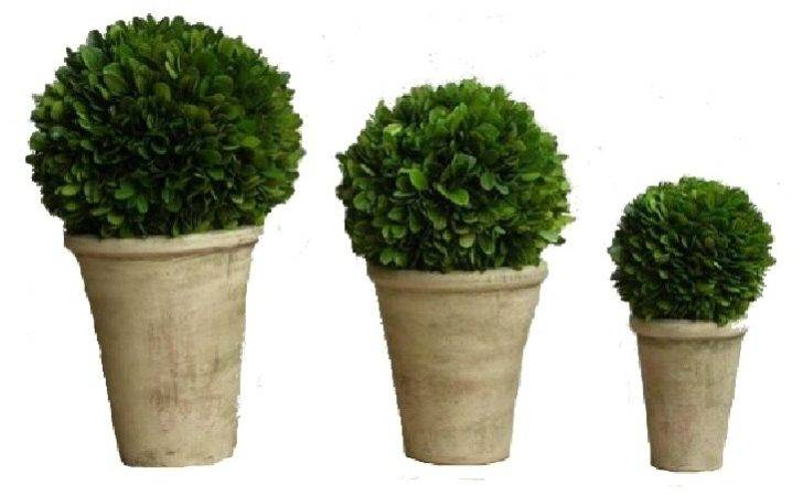 Preserved Boxwood Balls Potted