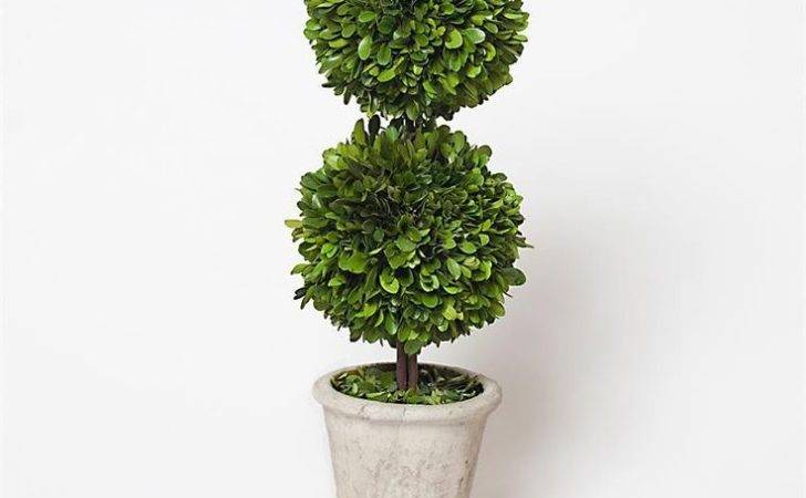 Preserved Boxwood Double Ball Topiary Inch