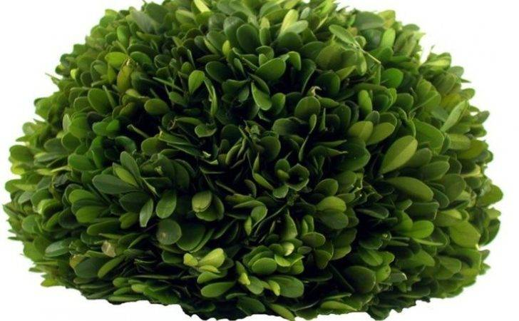Preserved Boxwood Half Ball Millsfloral