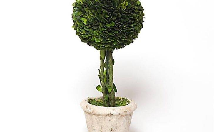 Preserved Boxwood Single Ball Topiary Inch Bella Marie