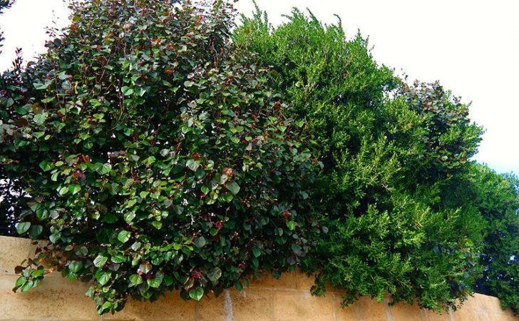 Privacy Hedge Best Screening Plants Lakeside
