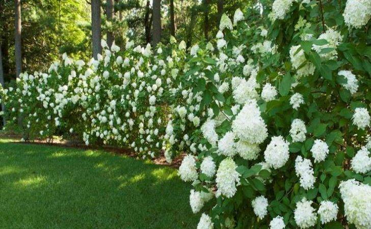 Privacy Hedges Gardening Ideas White Flower Beautiful