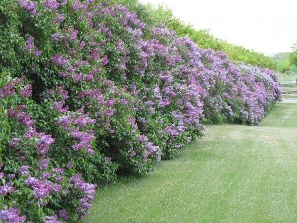 Privacy Plants Lilac Hedges Outdoor Living