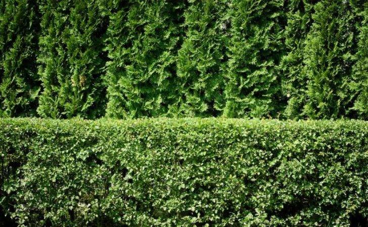 Privacy Plants Screening Your Yard Style