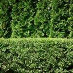 Privacy Screens Hedge Plants Fast Growing Evergreens