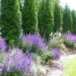 Privacy Trees Pinterest Landscaping Backyard