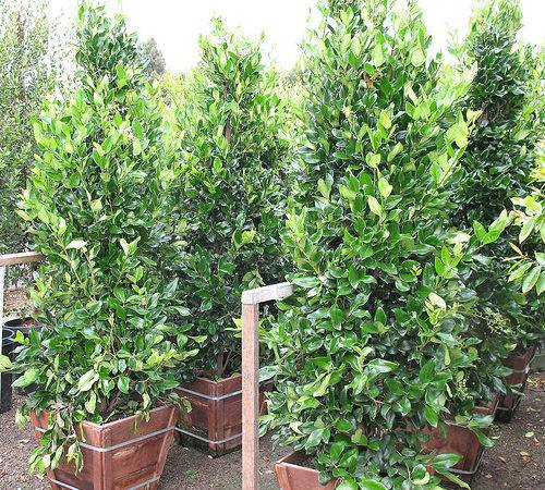 Privets Privacy Plants Make Great Hedges Marina Garden